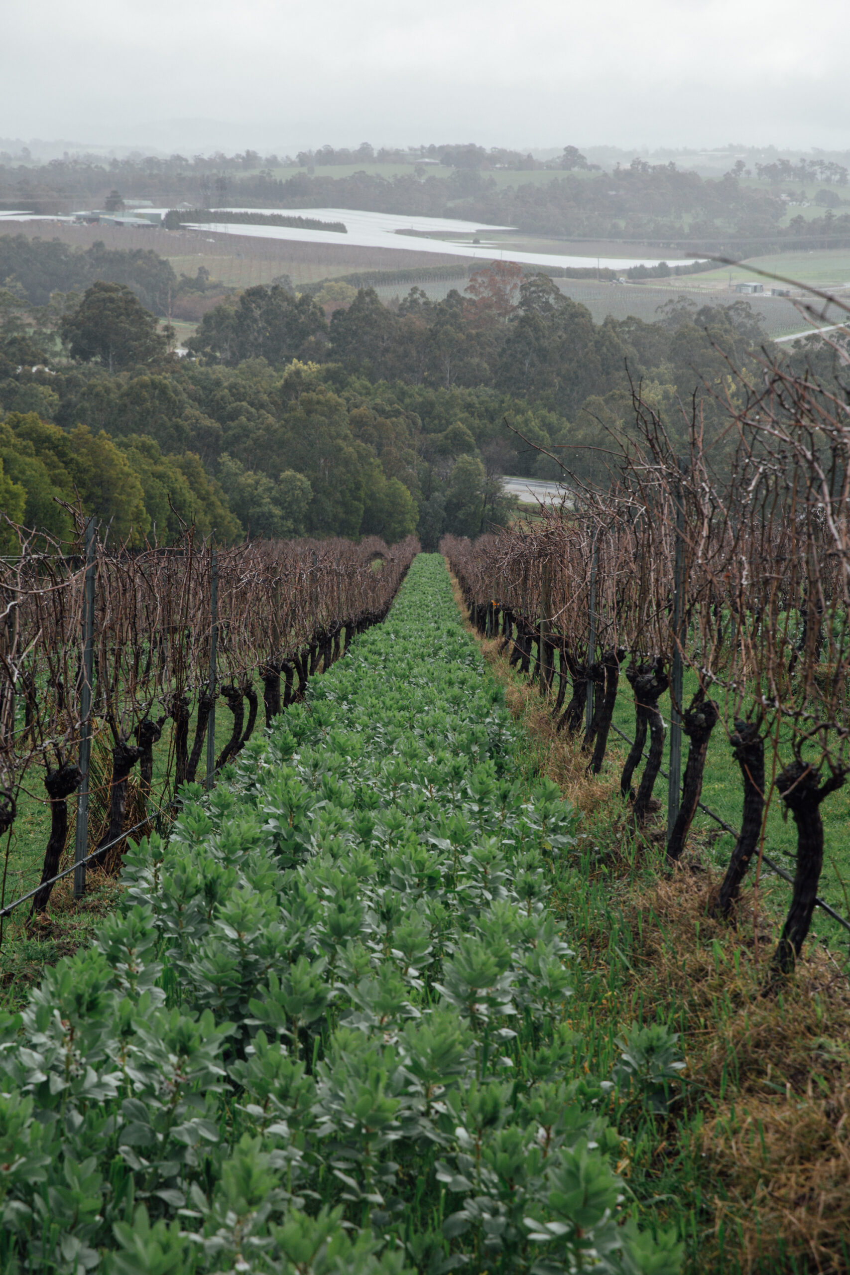 Cover Cropping at Mac Forbes Wine
